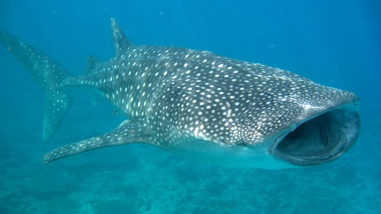 Whale shark feeding South Ari Atoll Maldives