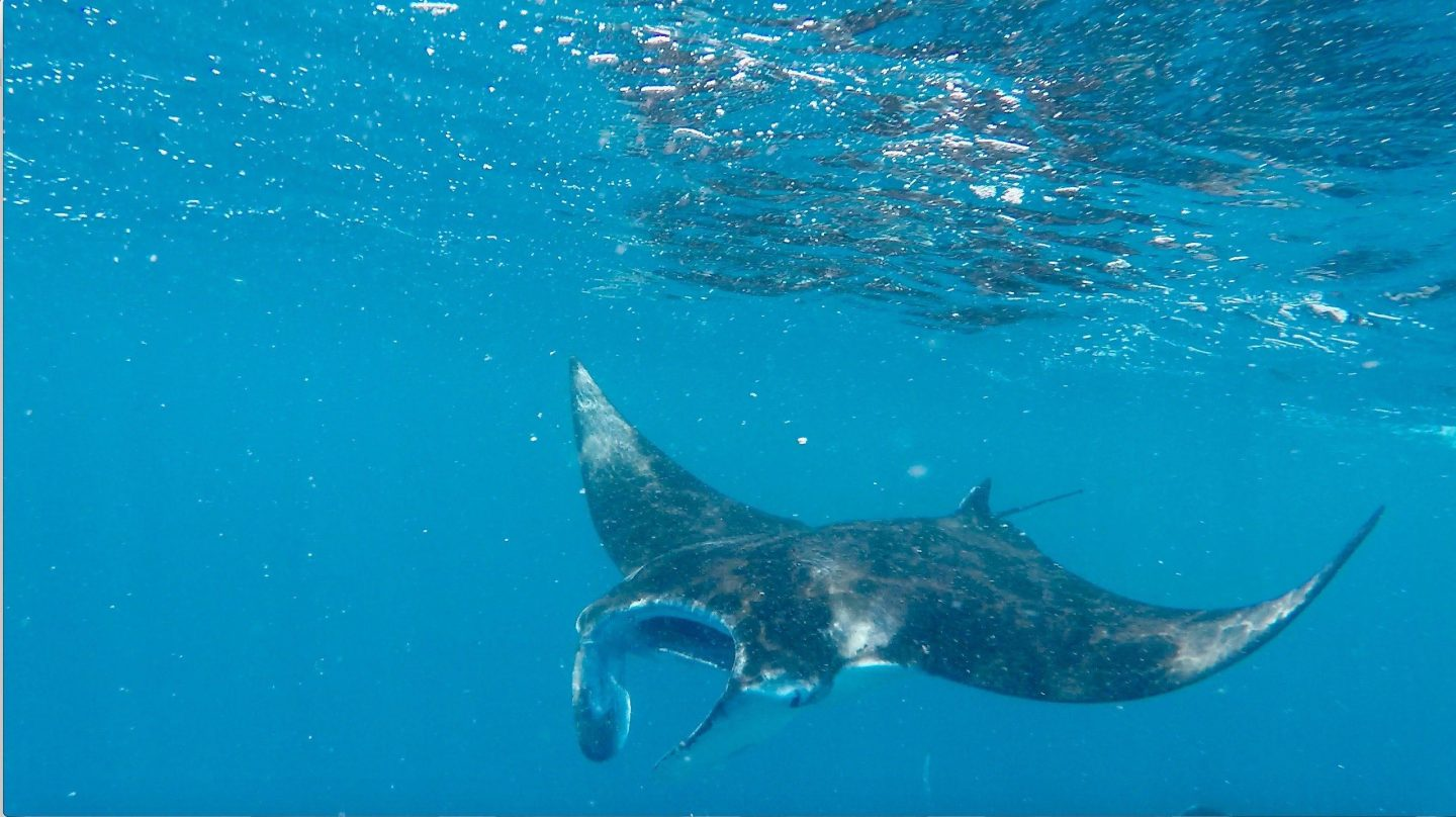 Manta ray feeding Dhigurah Maldives
